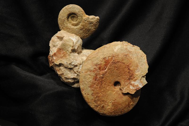 Gymnites arthaberi MOJS. Monophyllites wengensis KLIPST. Triassic,Ladinian,Archelaus Zone
