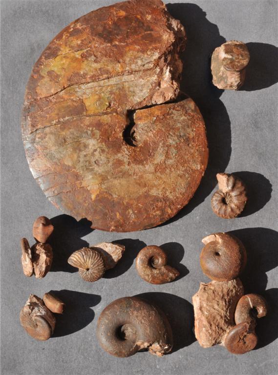 Triassic/Norian/Alaunian I, Ammonite Fauna