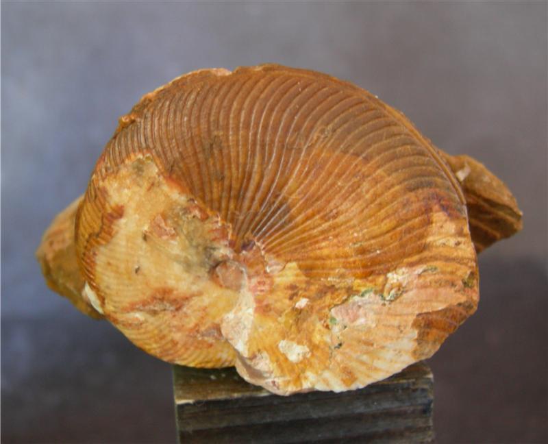 Discotropites plinii MOJS., Upper Triassic / Karnian / Tuvalian 3