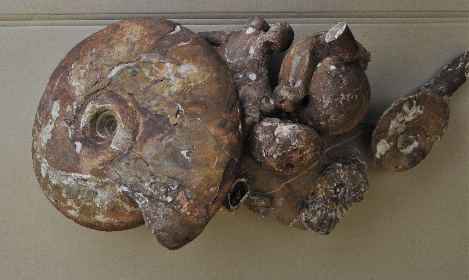 Ptychites Sp. 30cm, Arcestes Cf. omboni