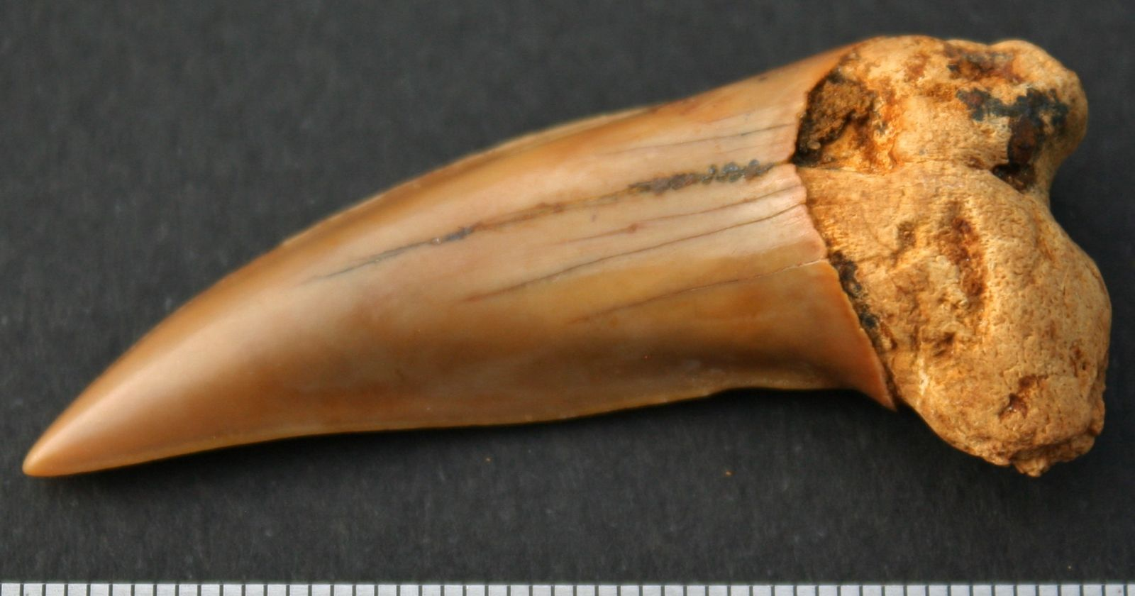 Isurus desori (Sismonda, 1849. Mako Shark. Late Oligocene. Torquay Group. Waurn Ponds Limestone. Victoria.  Australia