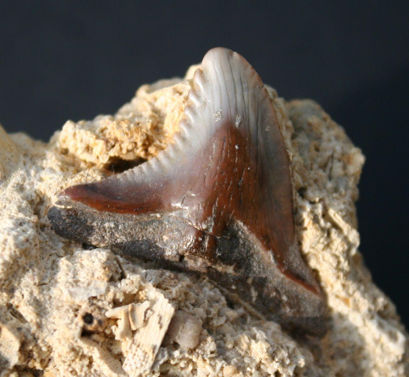 Hemipristis serra Miocene Touraine France
