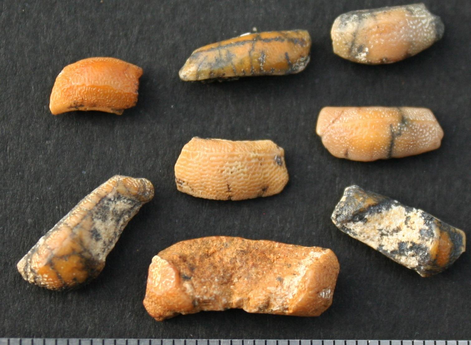 Heterodontus cf .cainozoicus(Bullhead shark)early Pleistocene Loxton Sands Formation South Australia