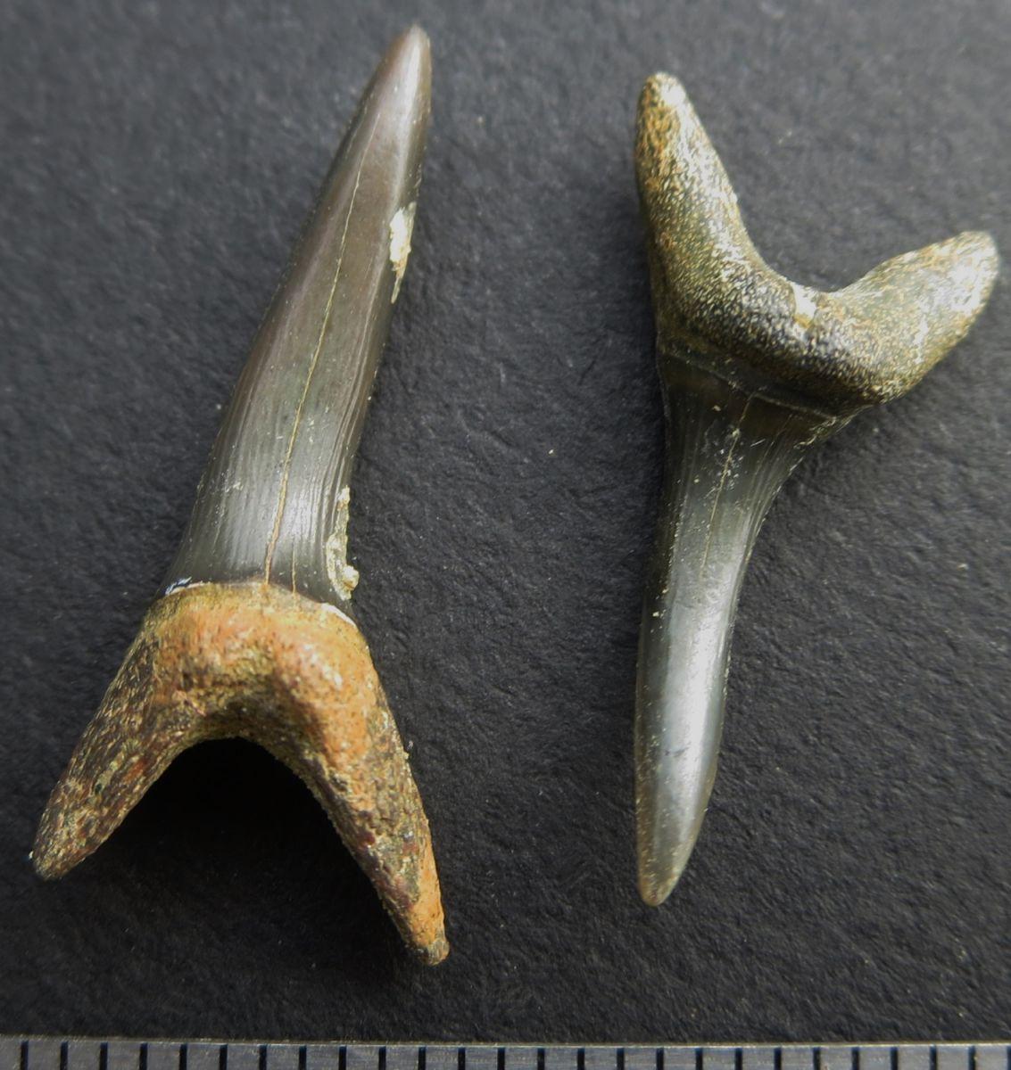 hypotodus verticalis Eocene Gisors France