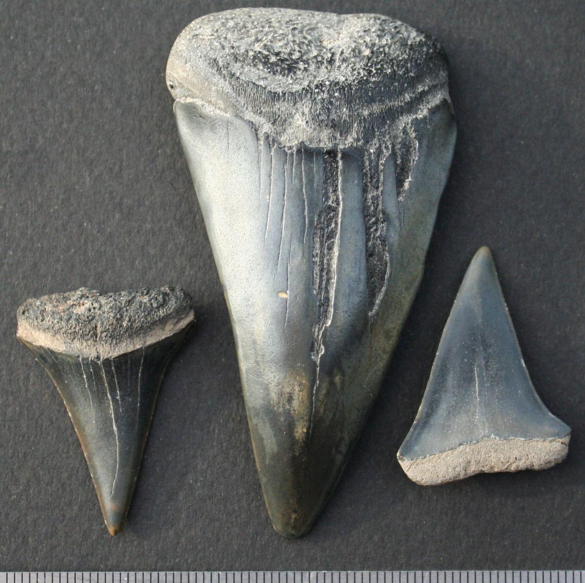 Isurus hastalis Agasiz, 1843. Mako Shark.Early Pliocene. Whalers Bluff Formation.Portland. Victoria.Australia