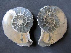 Pleuroceras spinatum (Brugières 1789)