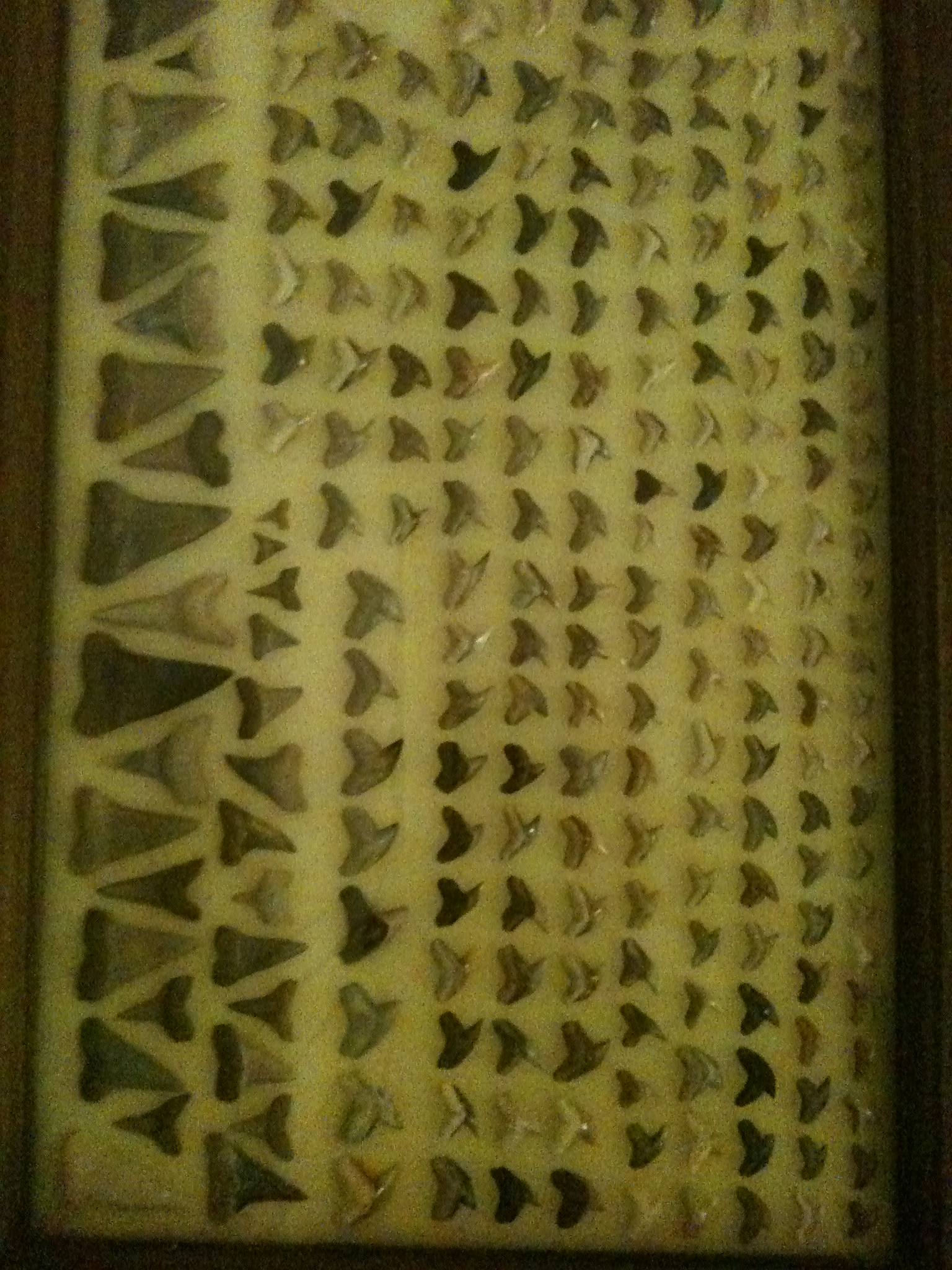 show us your shark tooth collections and how you display them