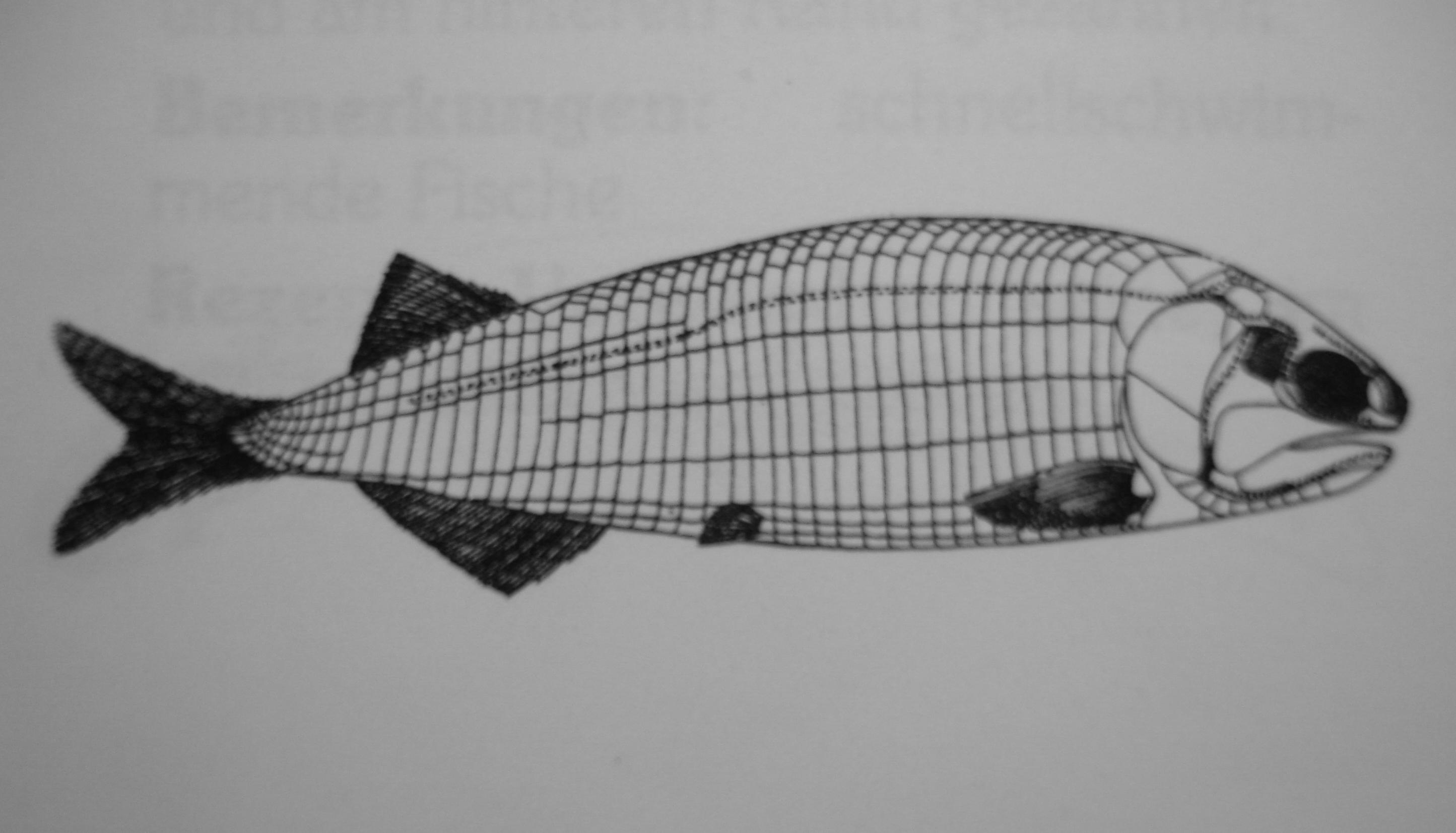 Australosomus Rek2.jpg