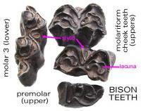 bisonteethocclusalstylid.JPG