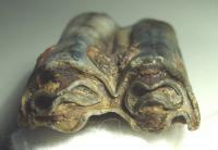 Pleisto' Tooth,   Bos sp. a.jpg