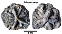 Asterosoma.jpg
