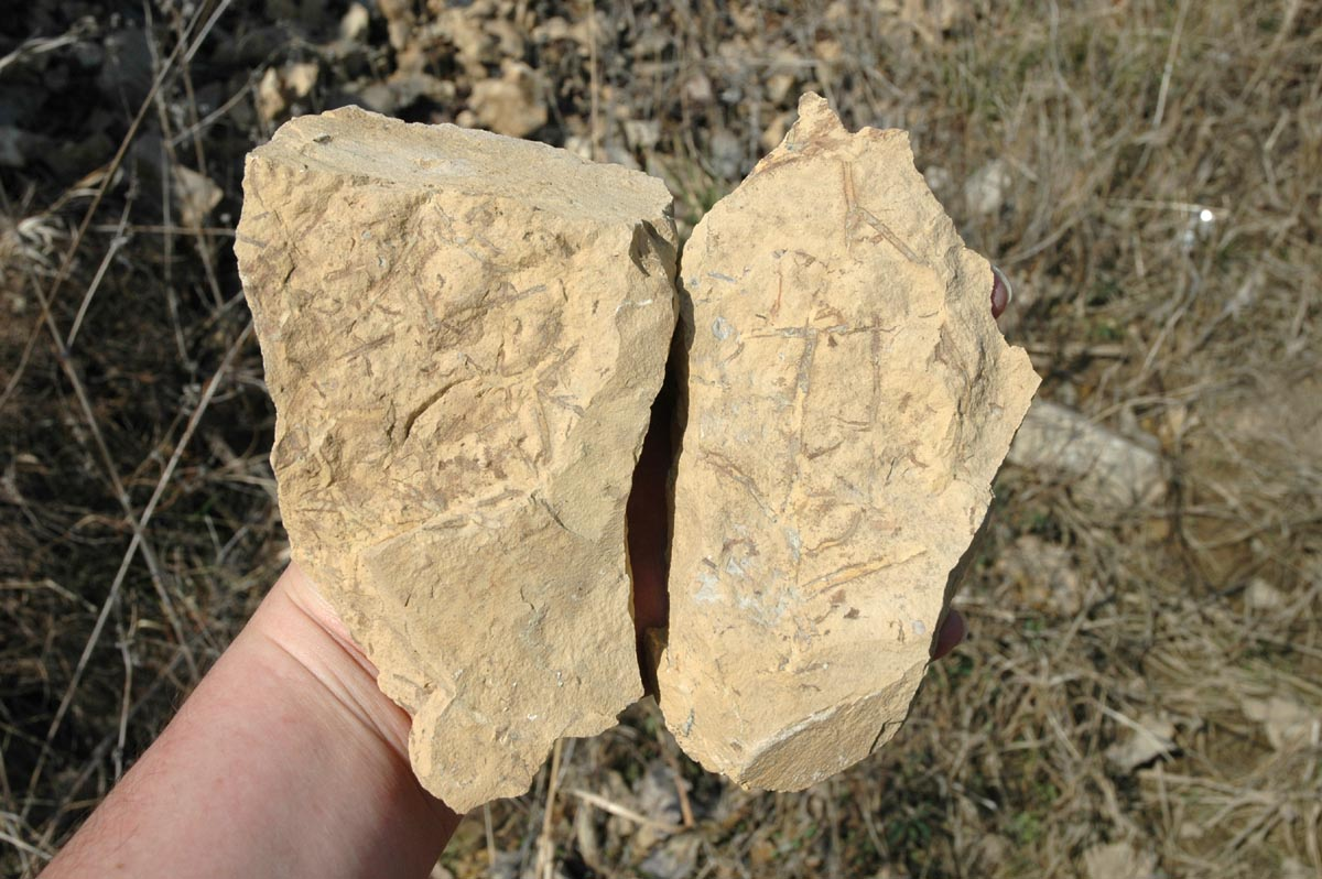 Show Us Your Cordaites - Member Collections - The Fossil Forum
