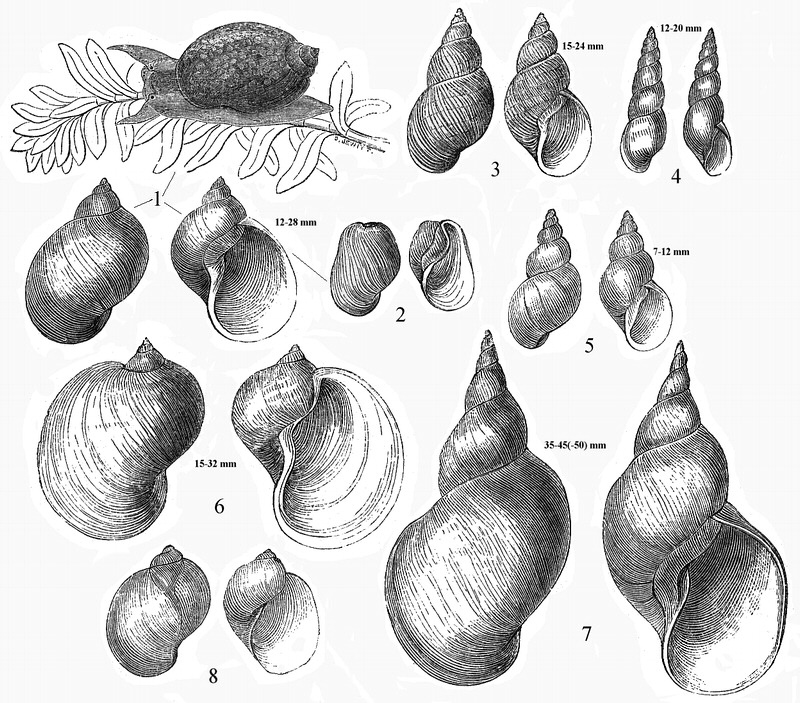 Pond And Melantho Snails : Species within the genus Lymnaea include: