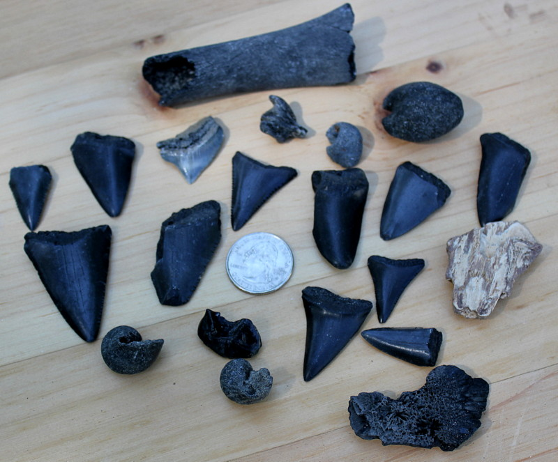 North Myrtle Beach Sc Fossils And Sharks Teeth