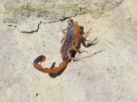 Scorpian2.jpg