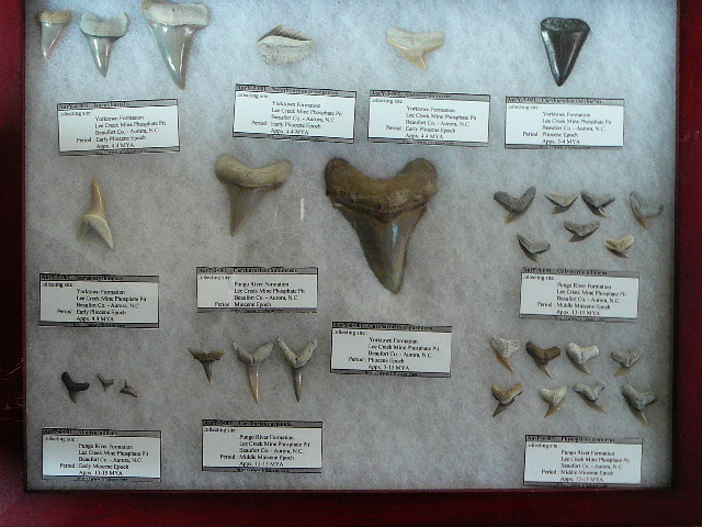 lee creek and moroccan shark teeth member collections the fossil