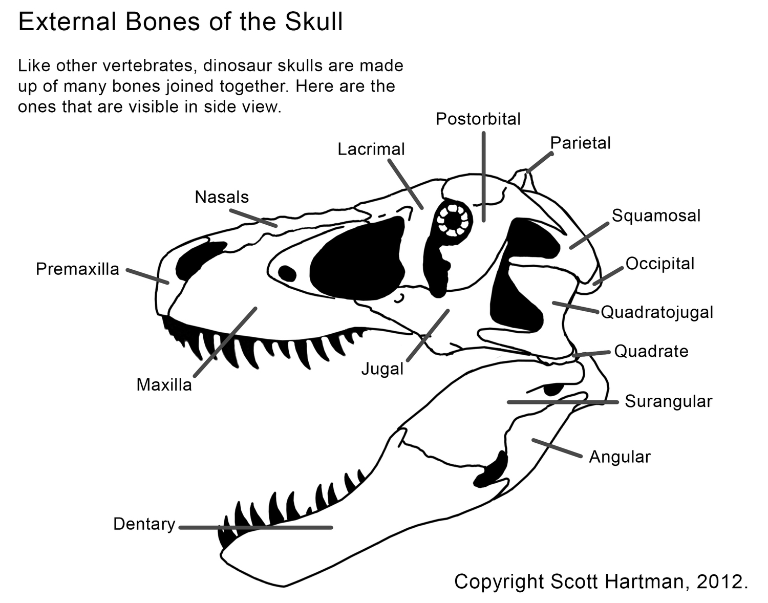 Dinosaur Anatomy 101 - General Fossil Discussion - The Fossil Forum