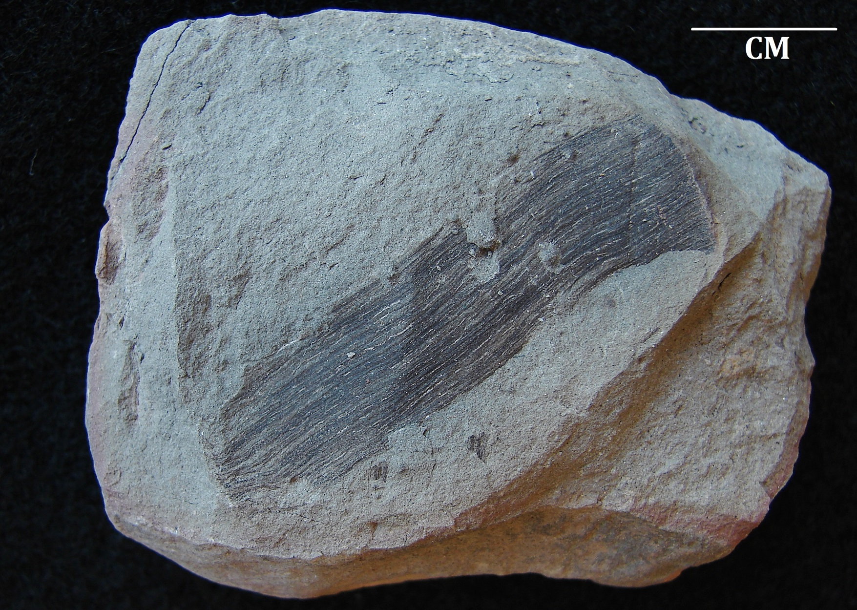 Cordaites? - Fossil ID - The Fossil Forum