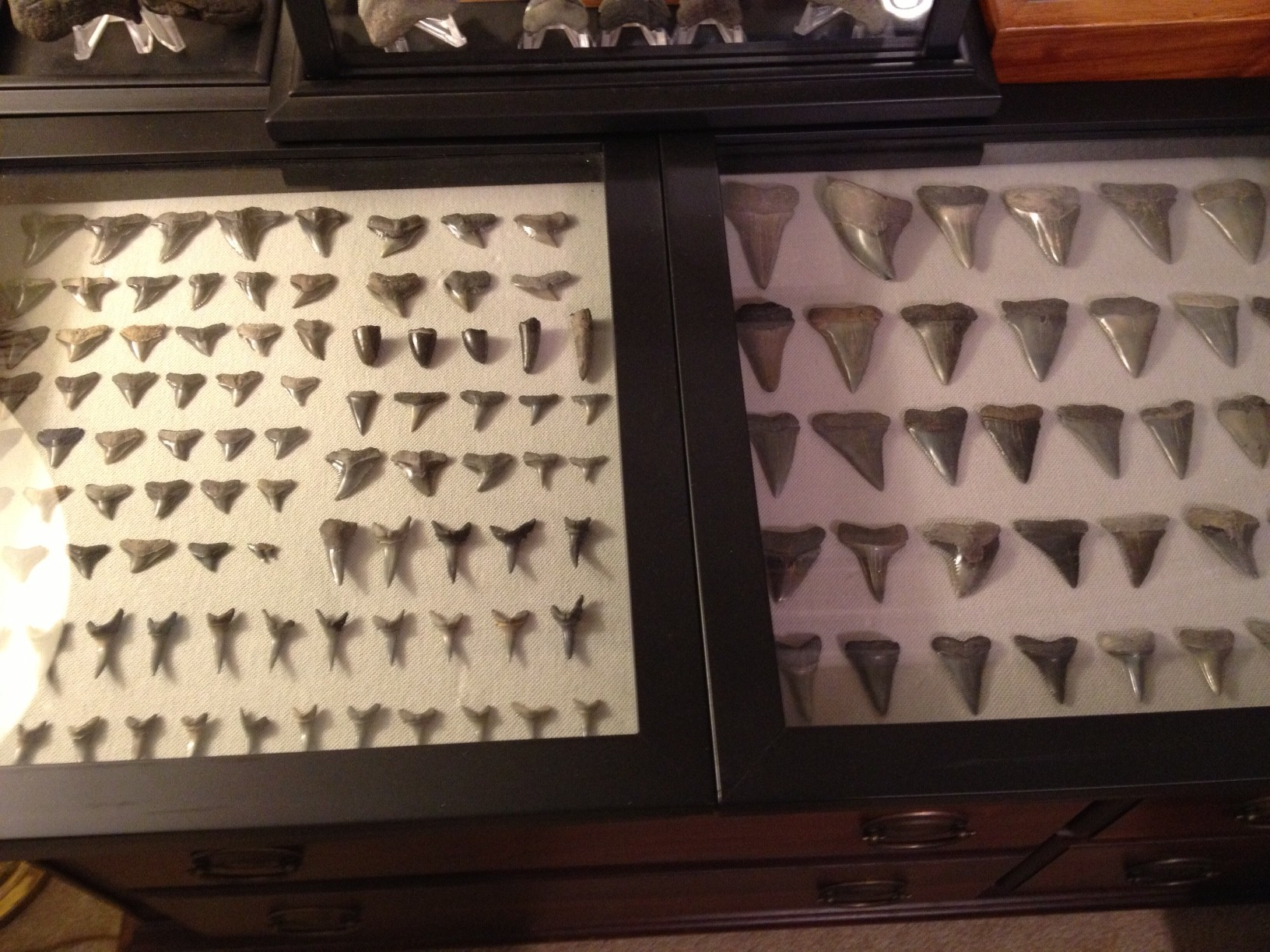 shark tooth display q questions answers the fossil forum