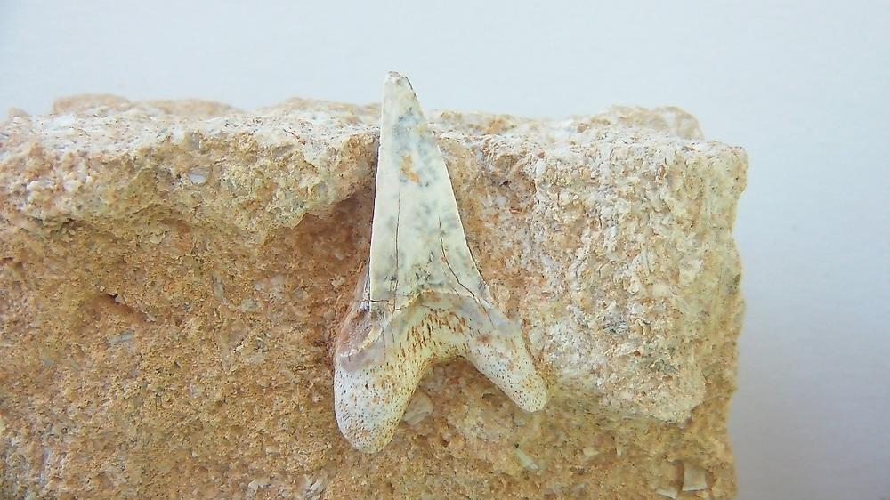 7- Undescribed Cardabiodontid.JPG