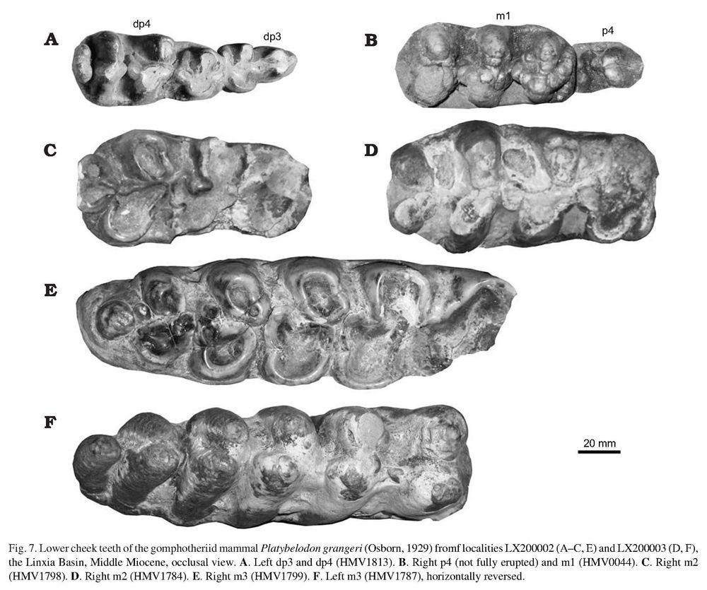 The gomphotheriid mammal Platybelodon from the Middle Miocene of Linxia Basin, Gansu, China - SHIQI WANG, WEN HE, and SHANQIN CHEN_2.jpg