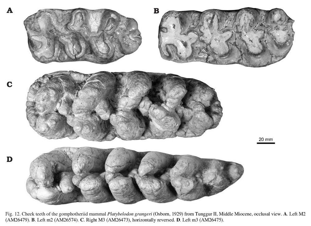The gomphotheriid mammal Platybelodon from the Middle Miocene of Linxia Basin, Gansu, China - SHIQI WANG, WEN HE, and SHANQIN CHEN_4.jpg