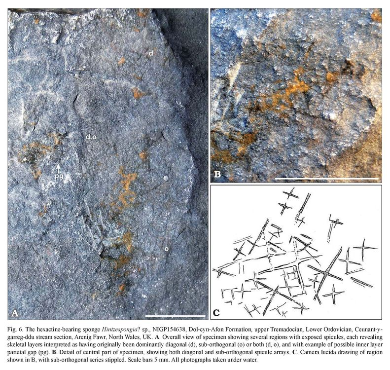First post-Cambrian records of the reticulosan sponges Valospongia and Hintzespongia from the late Tremadocian of North Wales - JOSEPH P. BOTTING, LUCY A. MUIR.jpg