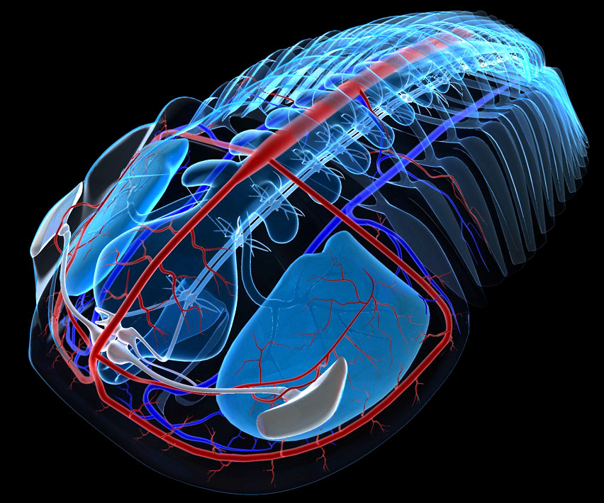 TD-systeme_nerveux-circulatoire2.jpg