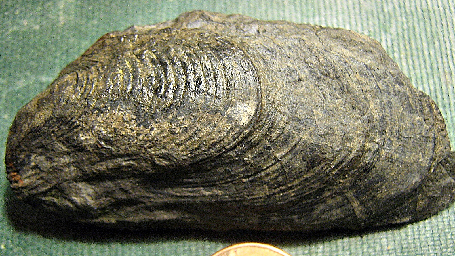 Palaeoheterodonta Bivalve from the Marcellus Shale, Madison Co,, NY.