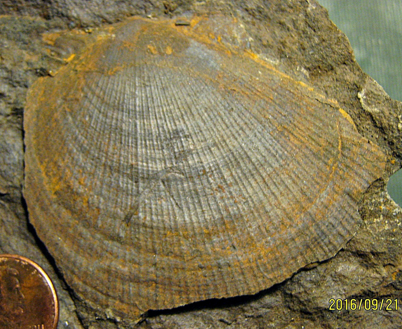 Pteriomorphia Bivalve from Madison Co., NY.