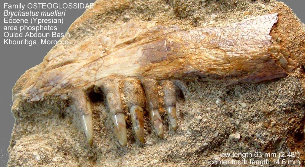 Early Eocene Fish Jaw