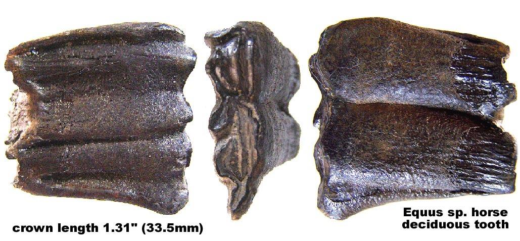 Horse Deciduous Tooth