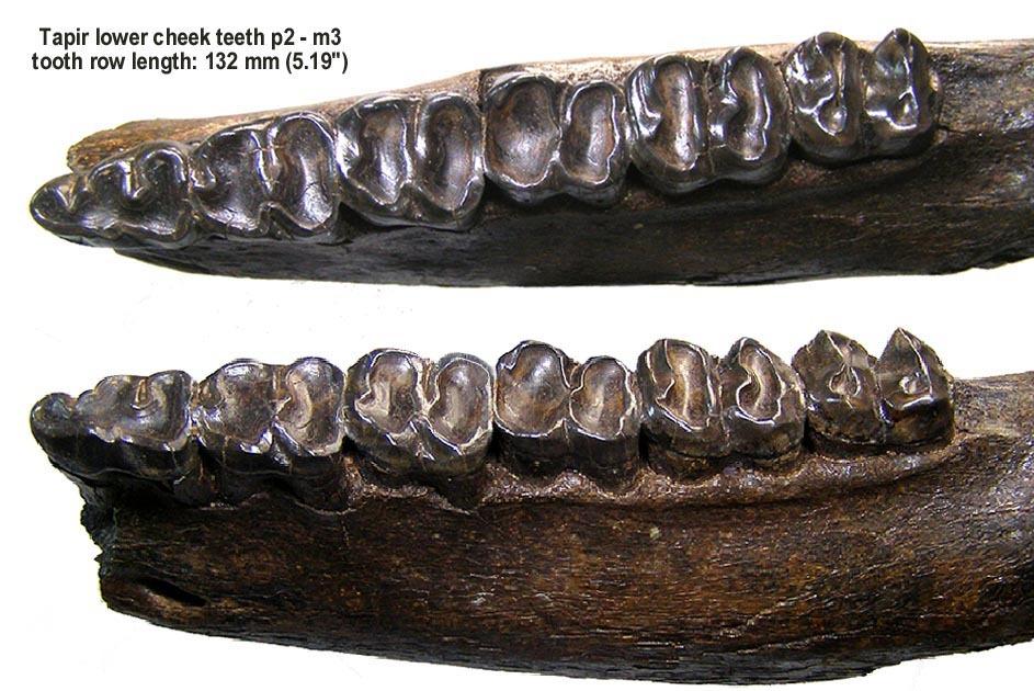 Tapir Toothrow
