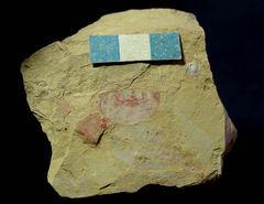 Isoxys minor, Vetulicolia longboashanensis and Palaeolenus lantenoisi.jpeg
