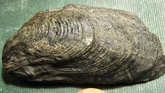 Palaeoheterodonta Bivalve from the Marcellus Shale, Madison Co,, NY.