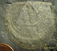 Strophomenid Brachiopod from the Marcellus Shale, Madison Co., NY.
