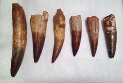 Spinosaurus tooth collection