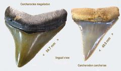 Megatooth Shark Comparison
