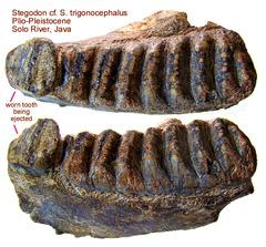 Stegodon Tooth