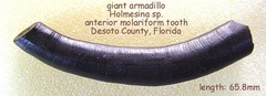 armadillo upper tooth