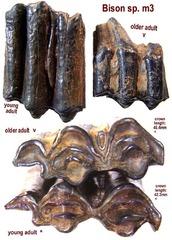 Bison m3 Molars