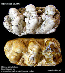 gomphothere teeth