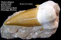 Otodus obliquus anterior