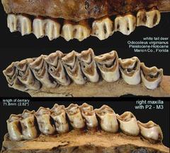 Deer Upper Teeth