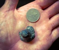 Ptychodus shark tooth