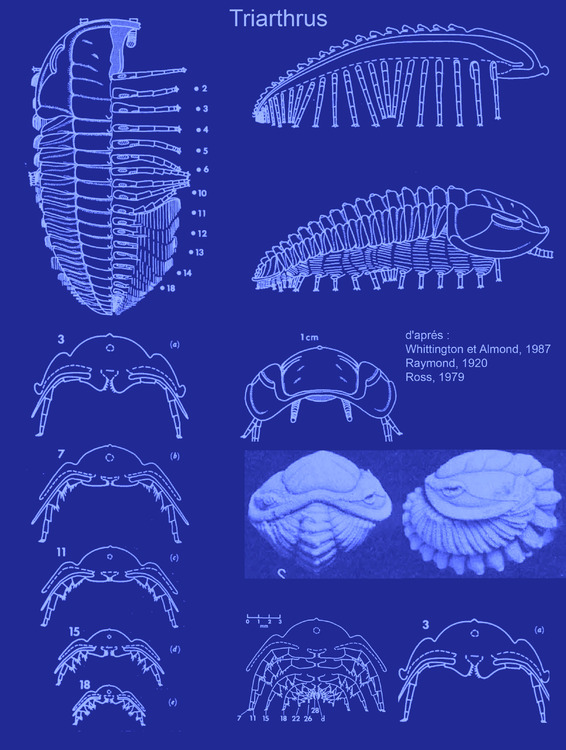 triarthrus-blue-print.jpg