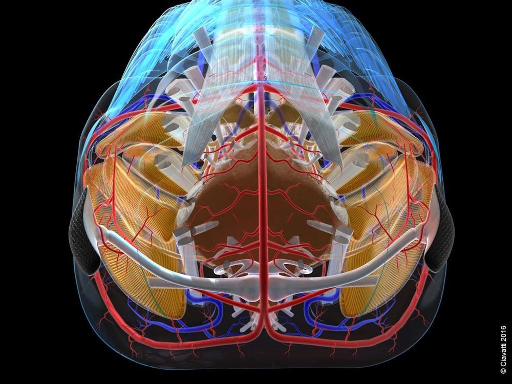 triarthrus-cephalon-face.jpg