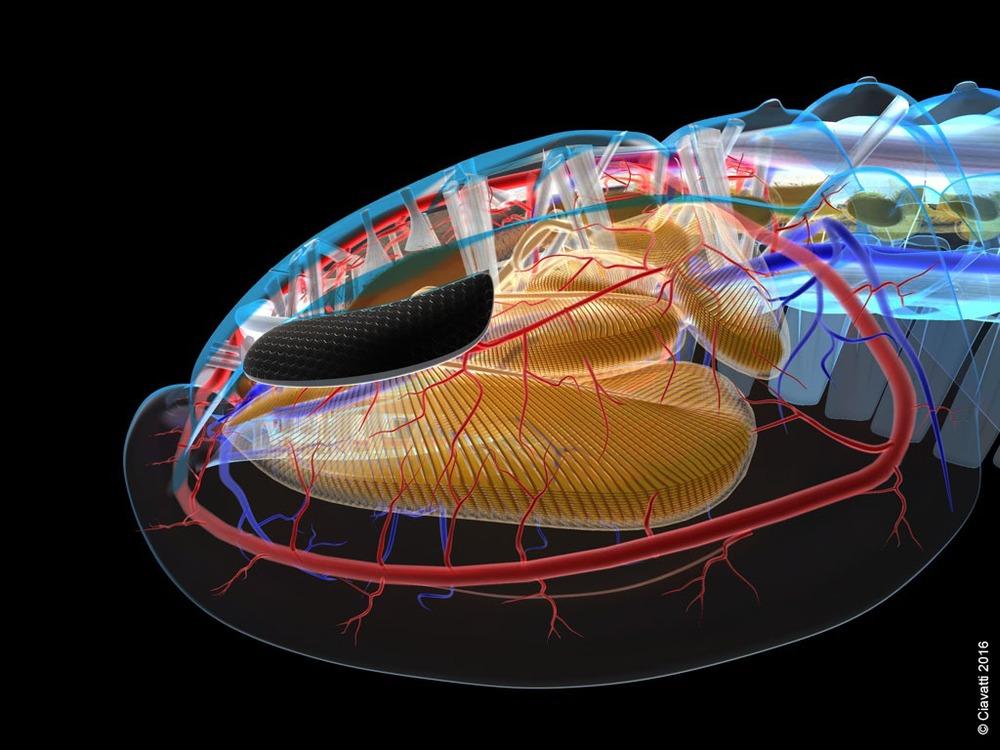 triarthrus-cephalon-profil.jpg