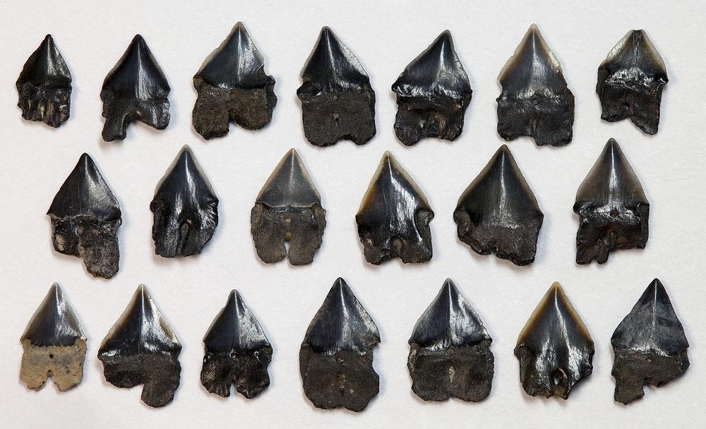Isistius triangulus dating