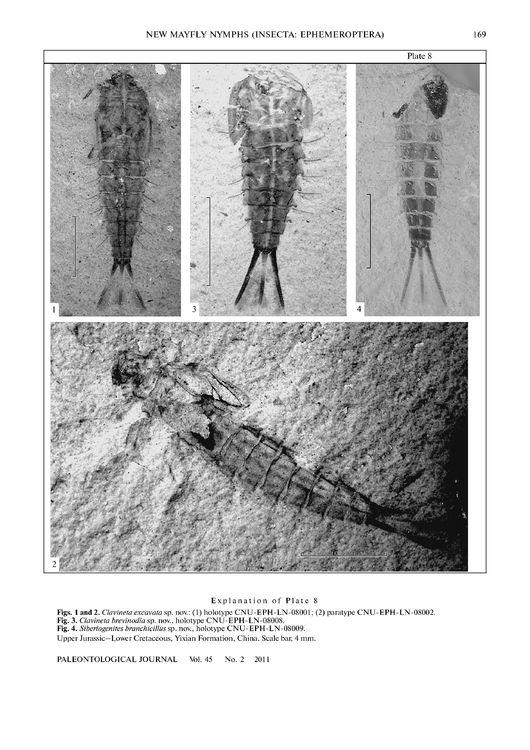 New_mayfly_nymphs_Insecta_Ephemeroptera_from_Yixia.jpg